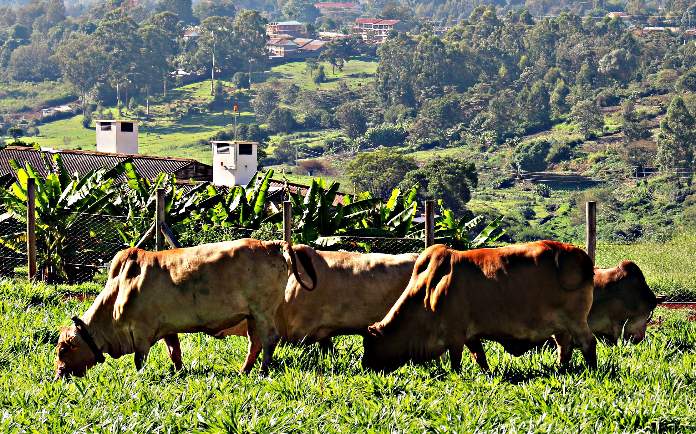 Lesotho attempts to scale-up beef production